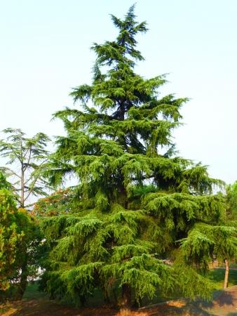 Pinaceae cedrus deodara, pinetree Standard-Bild - 15580316