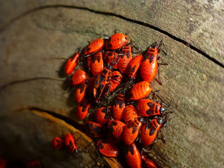 Pyrrhocoris apterus-firebug colony with parents on tree photo