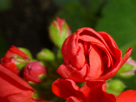 red geranium photo