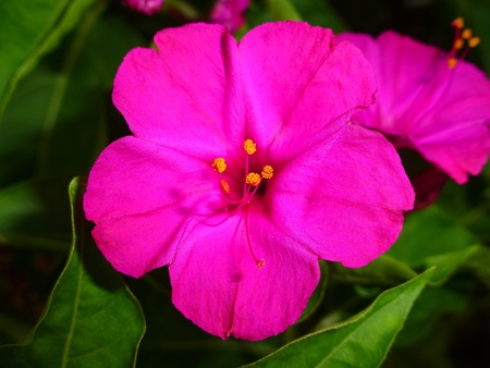 Mirabilis Jalapa Nyctaginaceae Standard-Bild - 21567416