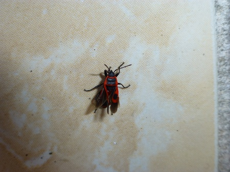 faience: pyrrhocoris apterus-firebug on faience