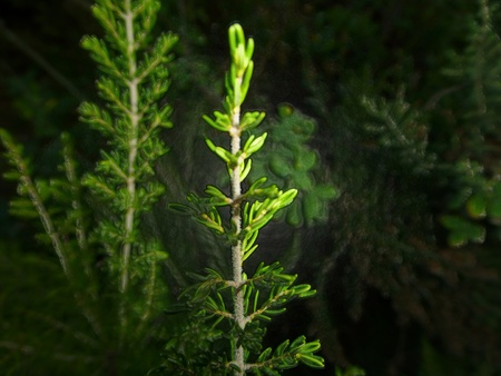 essences: filtered juniper