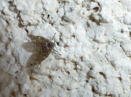 drain fly: psychodidae