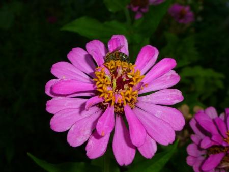 everybody: bee on Zinnia