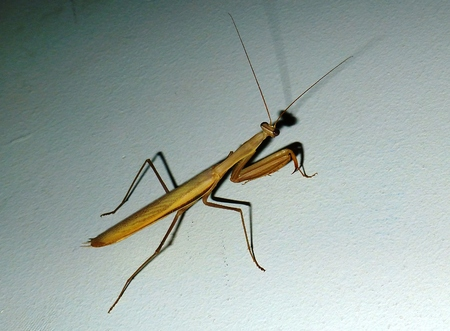 predatory insect: brown predatory praying mantis insect Stock Photo