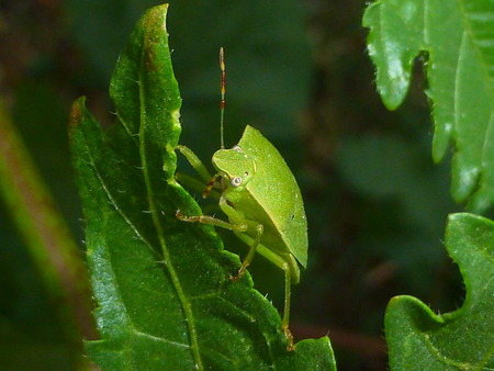 pentatomidae: Pentatomidae Stock Photo
