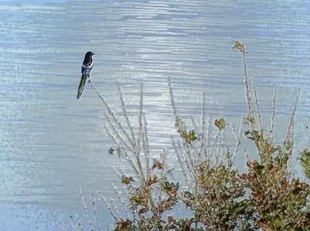 filtered Eurasian Magpie photo