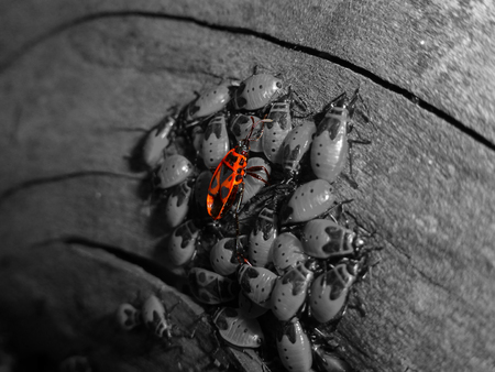 Pyrrhocoris apterus-firebug concept photo