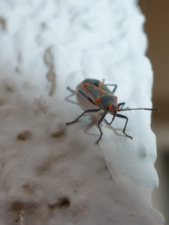 Pyrrhocoris apterus-firebug photo
