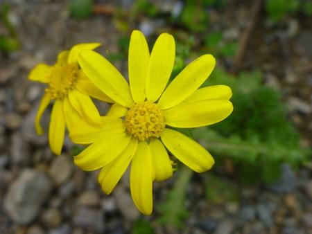Gelbe Blume Standard-Bild - 62441999
