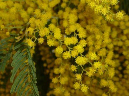 Blühende Mimose Nahaufnahme Standard-Bild - 62442012