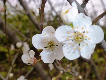Blühende Pflaume Blumen Standard-Bild - 62442007