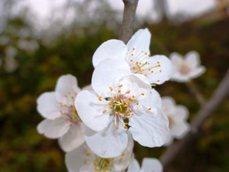 Blühende Pflaume Blumen Standard-Bild - 62442011