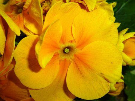 Gelbe Blume Standard-Bild - 62500170