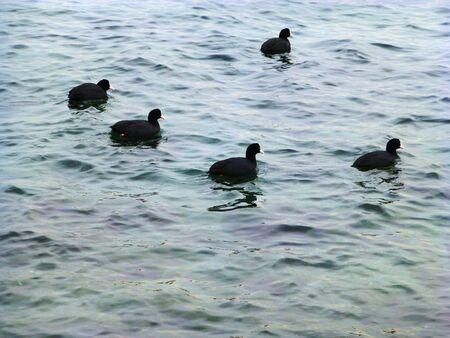 cormorants: cormorants