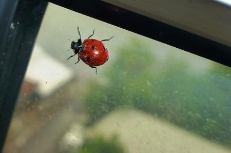 Marienkäfer auf dem Fenster Standard-Bild - 66899179