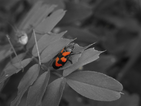 microcosm: Firebug   Pyrrhocoris apterus black and white concept with grasshopper