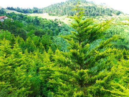 arbre paysage: pine tree landscape