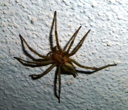 pisaura mirabillis: spider