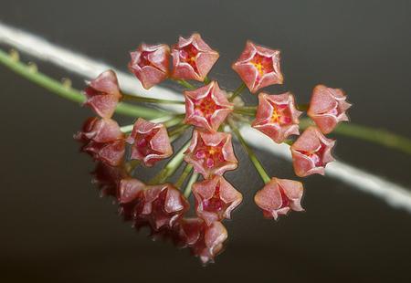 filtered: Filtered Hoya Carnosa Flor
