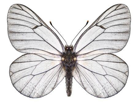butterfly white Archivio Fotografico