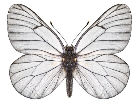 butterfly white Standard-Bild