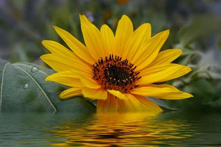 sunflower on water Stock Photo - 9912375