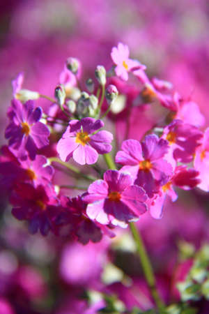 dicot: genus gerbera