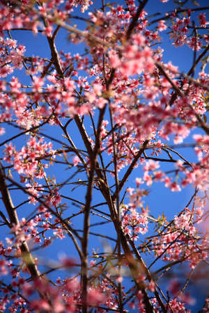 cherry blooms Stock Photo - 8897580
