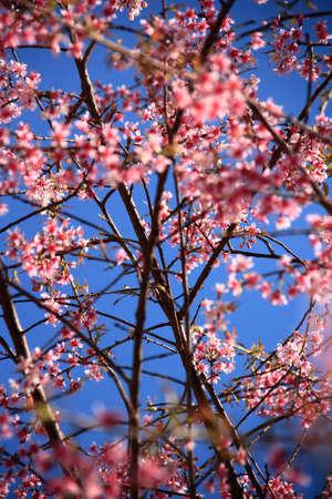 cherry blooms Stock Photo - 8897580