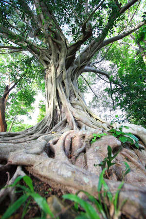 alder tree: tree