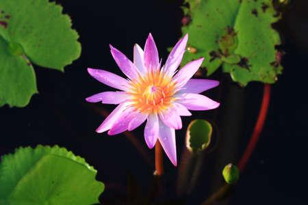 dicot: purple lotus