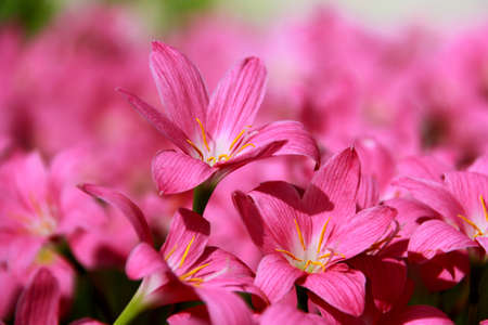 Pink flowers in the springtime, outdoor photo photo