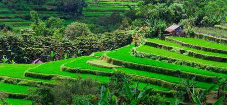 rice filed and walk way Bali Indonesia