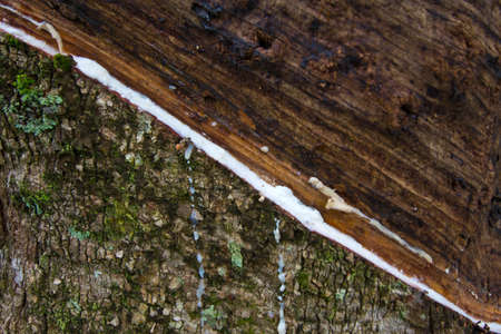 trickle down: planting trees  raw material for rubber