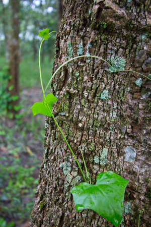 trickle down: raw material rubber tree