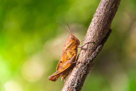 Grasshopper  with green bokeh Фото со стока