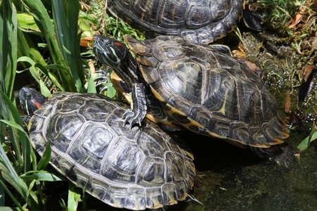 eared: Red Eared Slider Turtles