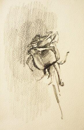 pensil: A pensil drawn sketch of a rose