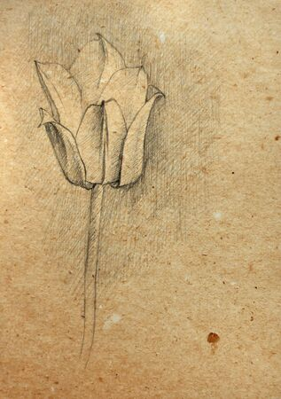 pensil: A tulip sketch on an old paper