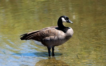 cackling: Cackling Canadian goose standing in shallow water