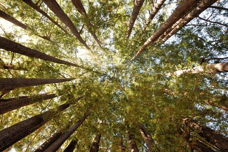 Redwood Trees Pointing Towards Sky in a Circle