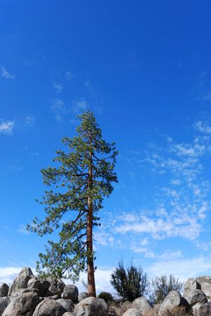 lonely pine tree on a rocky terrain shown against blue sky Stock Photo