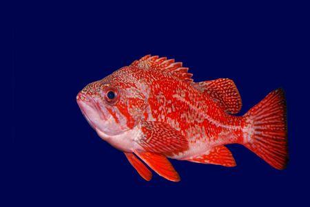 Vermillion Rockfish - Sebastes Miniatus shown against dark blue background Stock Photo