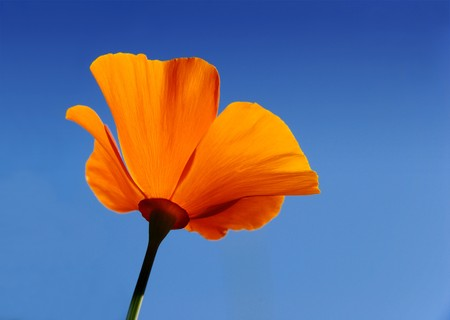 California poppy (Eschscholzia californica) with blue sky background photo