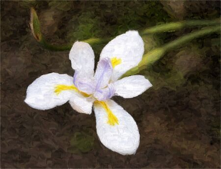 painting of a fortnight lily or african iris in dry watercolor technique made on a computer
