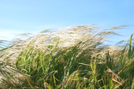 gusty: Grass moving by the wind on a sunny day.