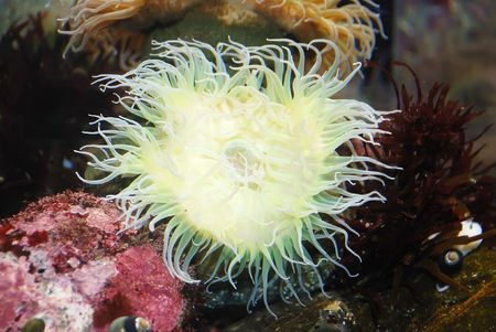 White sea anemone attached to a  rock under water.