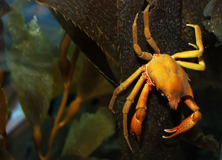 Brown and yellow crab on kelp under water.