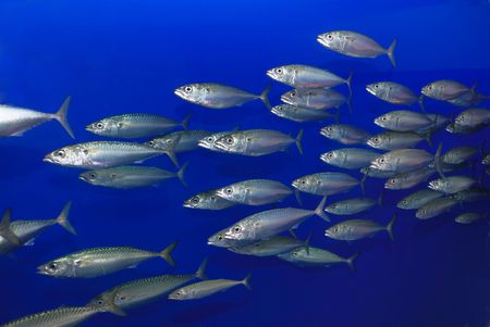 sardines: School of sardines swimming with blue background.